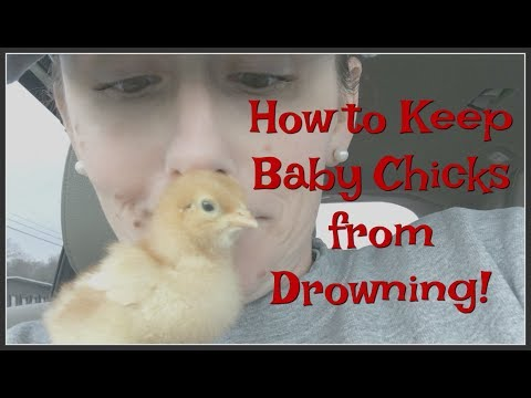 Keeping Baby Chicks from DROWNING!
