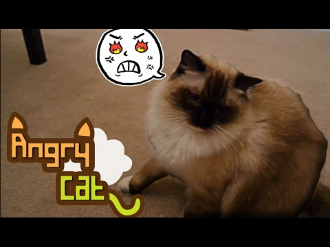 Watch! Angry Cat (Very Funny)