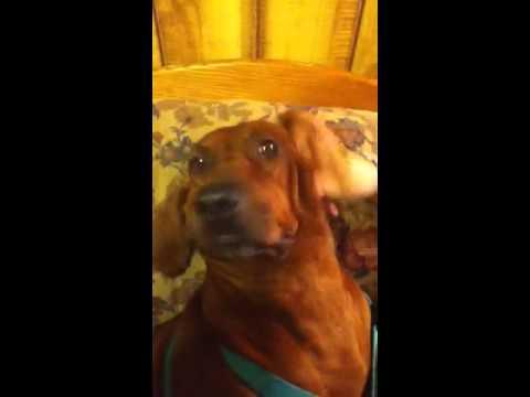 Dog moans over ear rub
