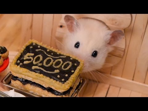 Hamster eating chocolate cake (50,000 Subscriber Special! 🎉)