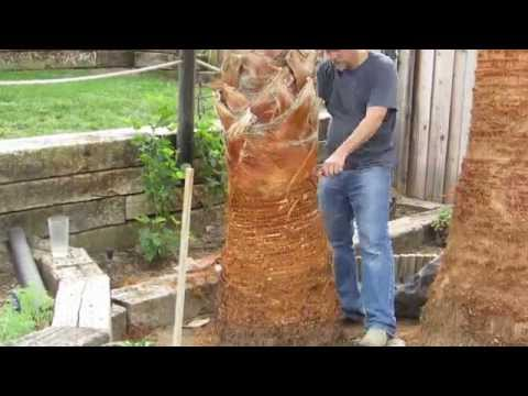 How To Prune a Mexican Fan Palm Tree