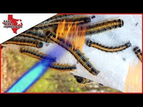 🔥🐛  Killing Bag Worms With a Torch! 🐛🔥  #EastTexasHomestead