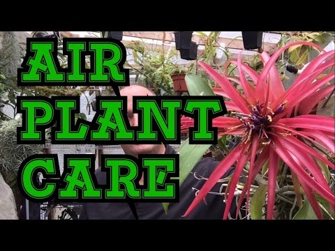AIR PLANT BASIC CARE AND UPDATES ON SOME FAVORITES 1080p