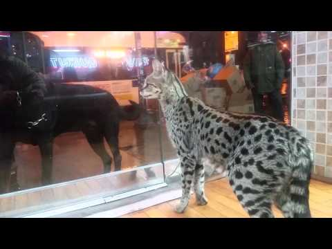 F1 Savannah ,, face to face with a dog,,, no fear here lolll