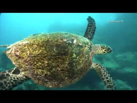 Save the Hawksbill Sea Turtles