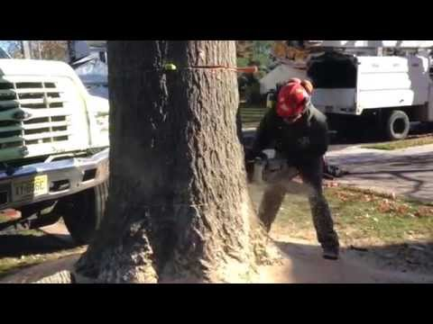 How to flush cut a stump, No wedge, My saw, and a big stump