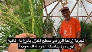 سعودي يزرع الرز في سطح منزله بالزراعة المائية   سناب الاحساء