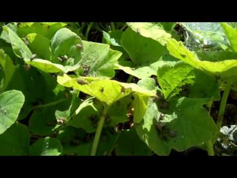 How to KILL Squash Bugs and Cucumber Beetles                    ERADICATED