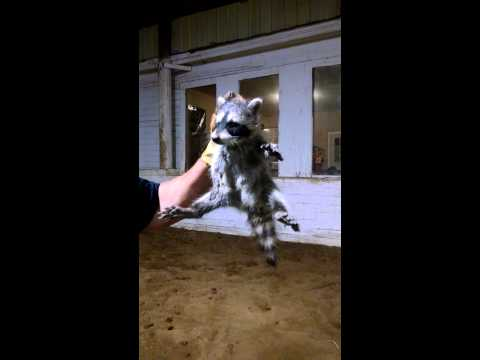 Baby racoon catching in a horse barn
