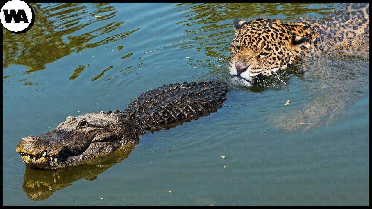 This Is Why Crocodiles Hate Jaguars