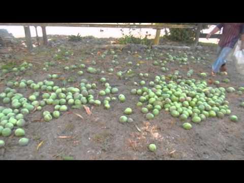 Mango Harvesting in Panama
