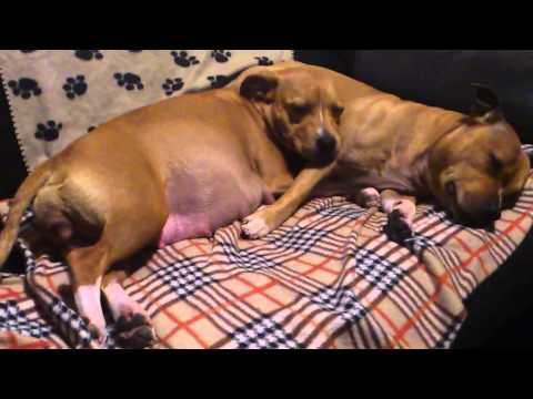 Pregnant Staffordshire bull terrier dog pre labour with her male mate