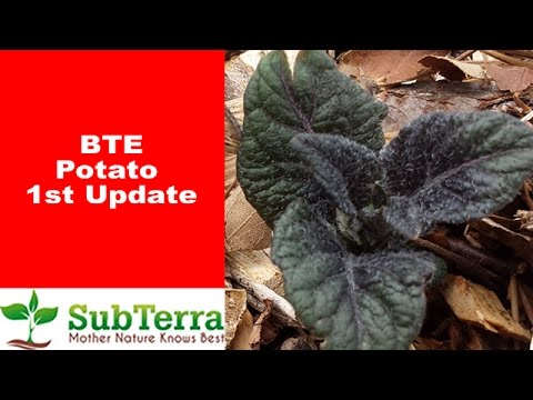 2017 Back to Eden (BTE) Potatoes 1st Update