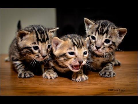 bengal cat breeders in new york