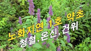 S대 논문에 게재된 노화지연 1호 약초~! 항암, 보약효소 담는 방법.