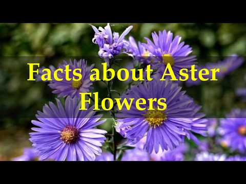 Facts about Aster Flowers