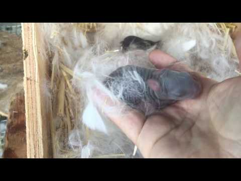 Baby Rabbits Just Hours Old - watch us grow