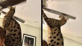 A Cat that Enjoys Pain