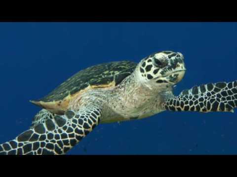Critically Endangered Hawksbill Sea Turtles