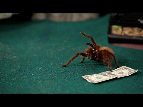 Where to Buy a Tarantula | Pet Tarantulas