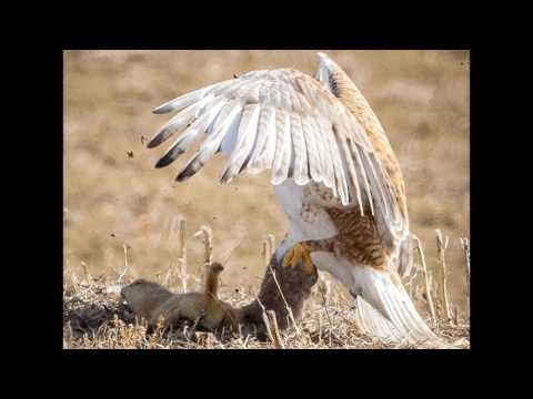 Prairie dog tries to scare off vicious hawk… but it doesn't end