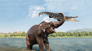 Amazing Mother Elephant Defeated Crocodile To Save Her Baby   Animals Save Animals
