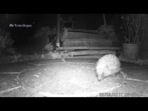 HedgeHogs Like Cat Biscuits - NEVER give them Bread & Milk