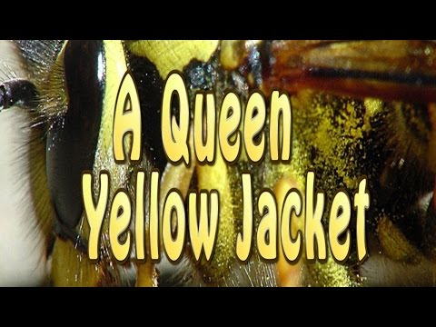 A Queen Yellow Jacket