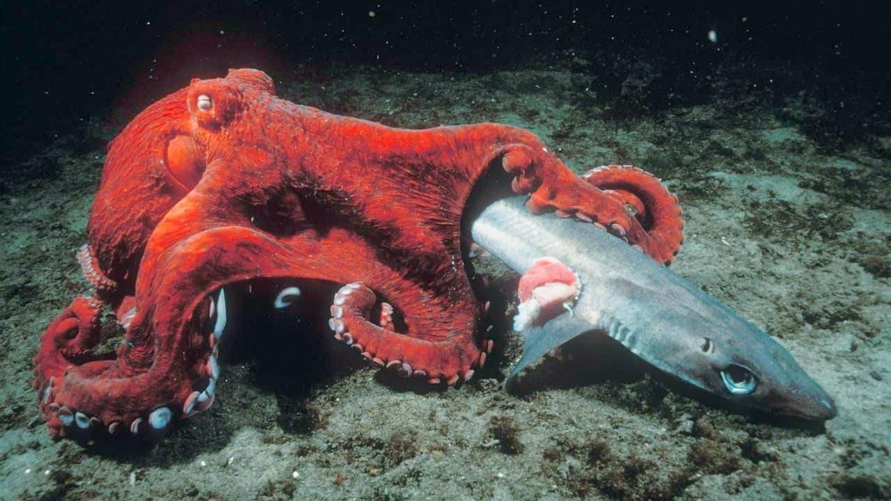 How Do Octopus Kill Sharks?