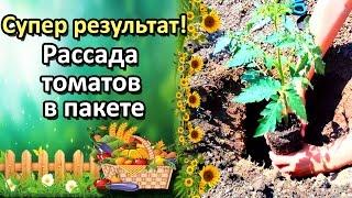 СУПЕР КРЕПКАЯ РАССАДА В МОЛОЧНОМ ПАКЕТЕ – РЕЗУЛЬТАТ!!! ВЫСАДКА ТОМАТОВ В ГРУНТ.