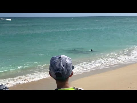 Five Hammerhead Sharks Swim In Backyard