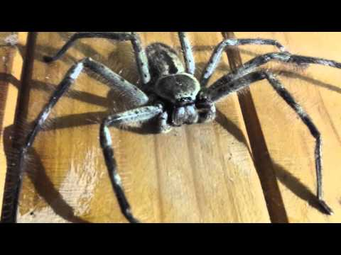 Massive huntsman spider