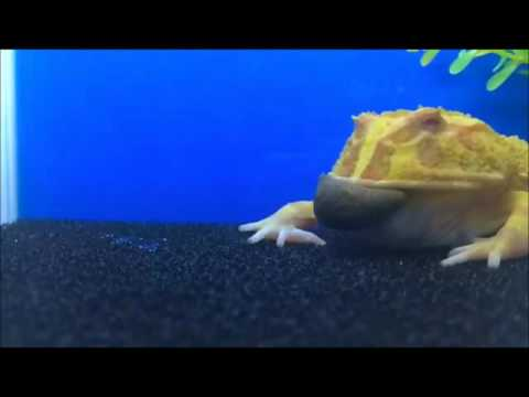 Pacman Frog Eating Samurai Pacman Food (Slo Mo)