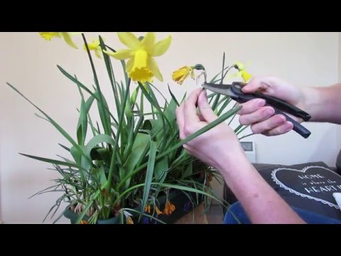 Daffodil Care: After Flowering