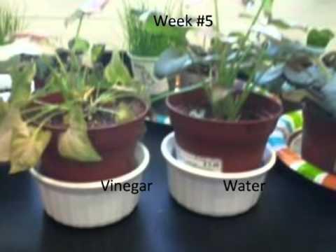 How acid rain effects plants