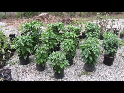 Growing Trinidad Moruga Scorpions: My Outdoor Plants (9/4/13)