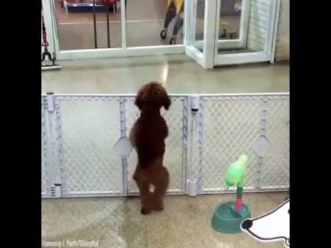 Poodle Gets Very Excited When his owner turns up to collect him - Funny Dogs