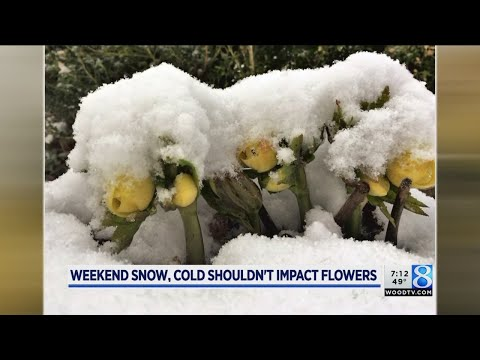 Weekend snow, cold shouldn't impact flowers