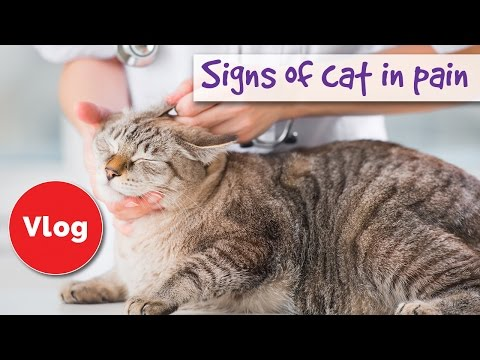 How to tell if your cat is pain 😿 signs of cat in pain 😿