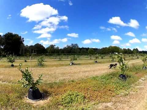 The Largest Citrus Grove in Georgia