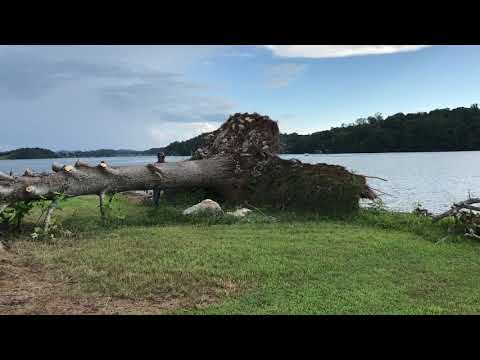 Uprooted tree (trunk) stands back up when cut! 🌳