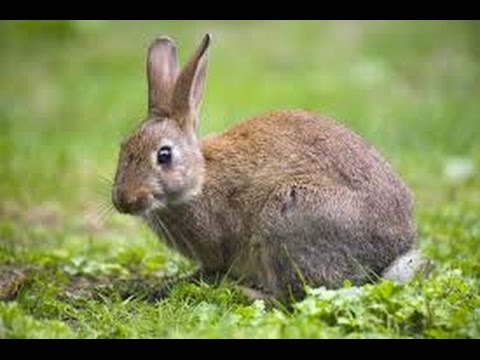 Wild Rabbit in a park