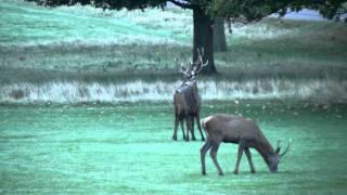 Red Deer Rut, Richmond Park, London