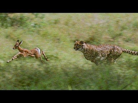 Cheetahs prey on a young impala: First kill | BBC Earth