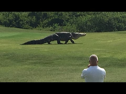 Giant Gator Walks Across Florida Golf Course | GOLF.com