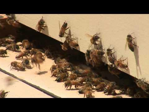 Killer Bees Move Into Colorado