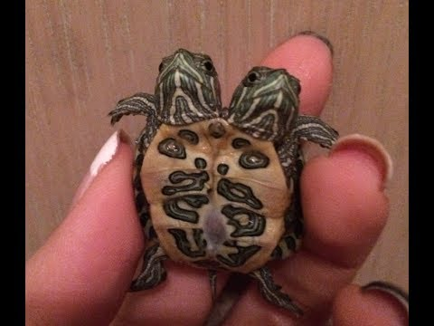 Siamese & Two Headed Turtles UPDATE! Selling?