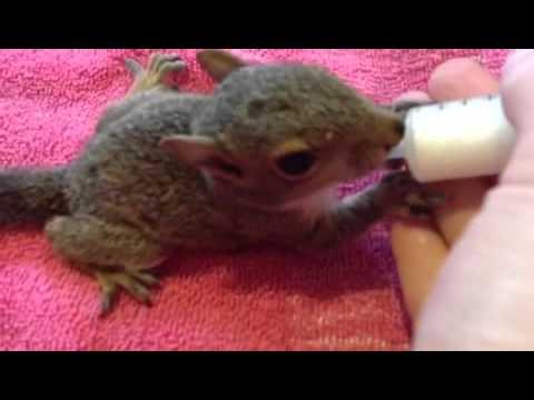 Feeding my baby squirrel