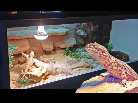 New Desert Dragon Setup + How I make my rock background!
