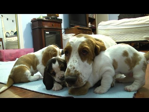Basset Hound Mom Protects Pups from Grandpa! Very Precious!